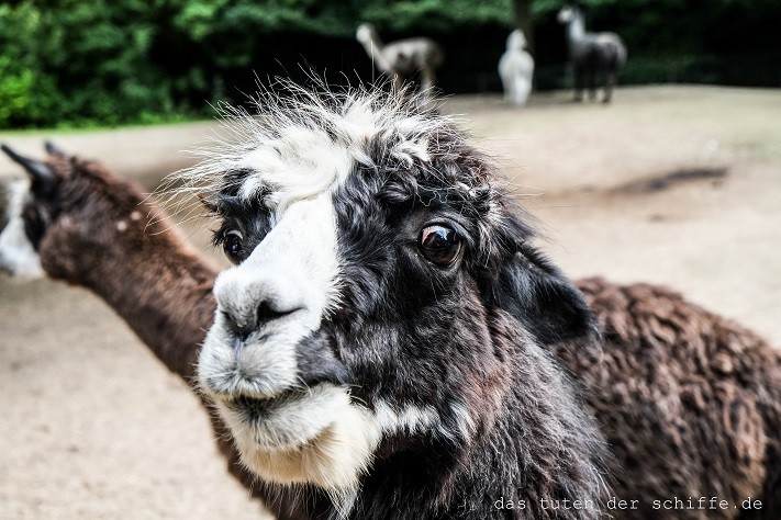 hagenbecks tierpark, hamburg, lamas